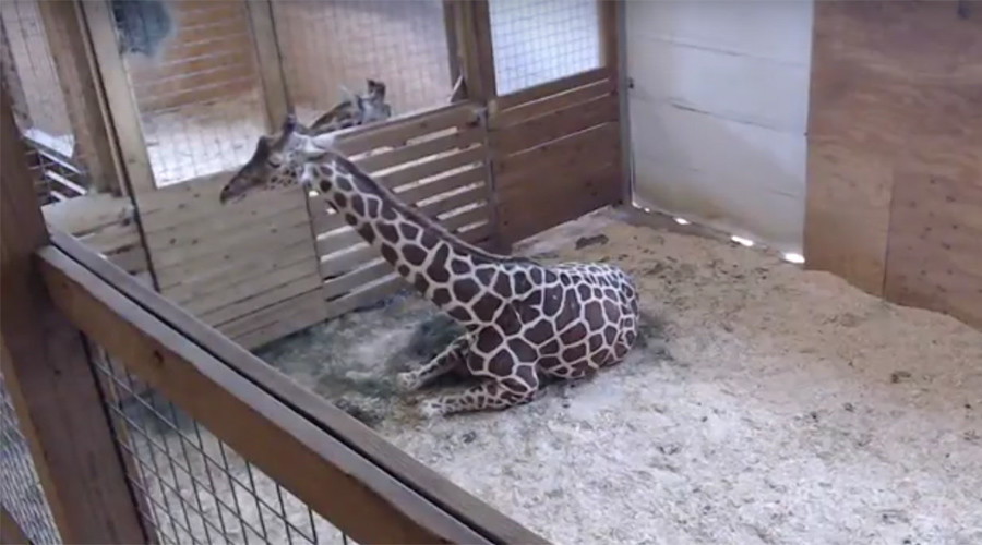 'Sexually explicit content'? Giraffe birth video removed from YouTube