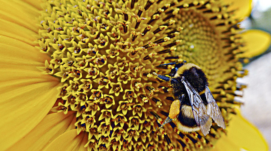 Honey offside trap: Bees taught to play football by scientists (VIDEO)