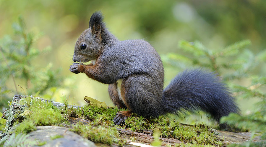Nut job: Prince Charles backs Nutella-fueled grey squirrel sterilization plan