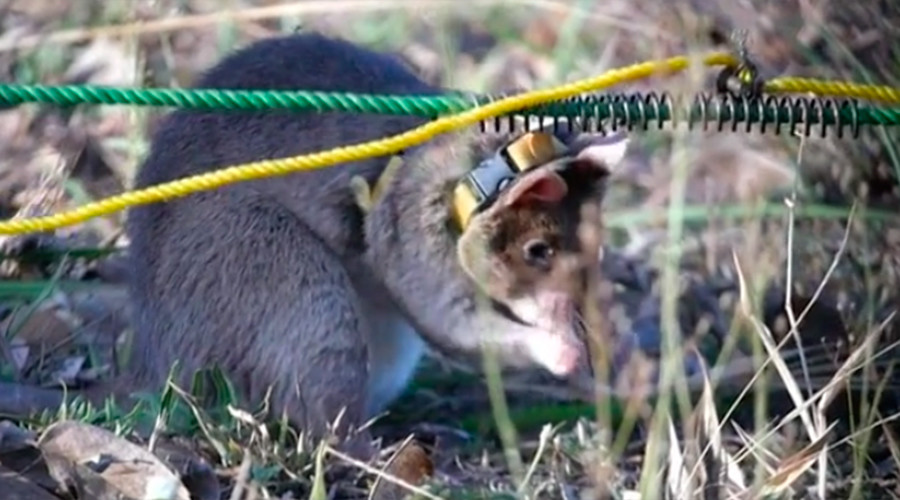 'Little Giant': RT follows journey of landmine-sniffing 'hero rat' Isaac (DOCUMENTARY)