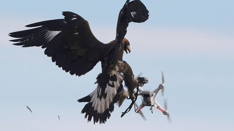 Golden eagles hunting down rogue drones