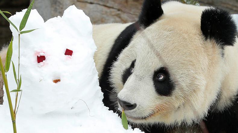 pornhub panda