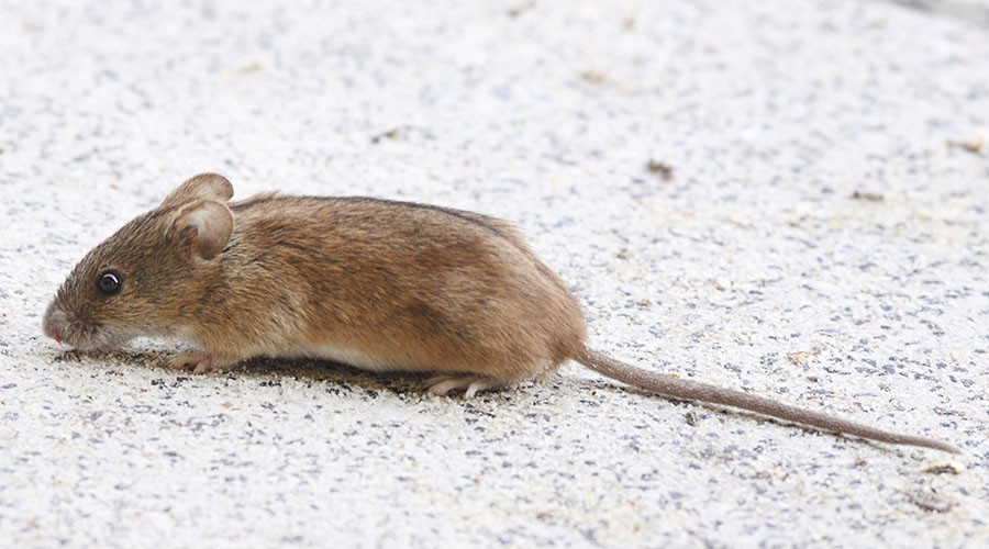 Stowaway mouse grounds British Airways flight to San Francisco costing airline €290,000