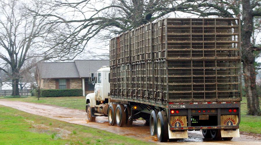 'I'm vegan': Woman intentionally crashes car into chicken truck, flees scene
