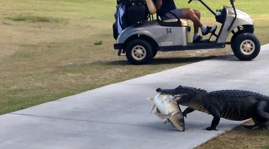 Nonchalant alligator shocks golfers by sauntering across course carrying massive fish (VIDEO)