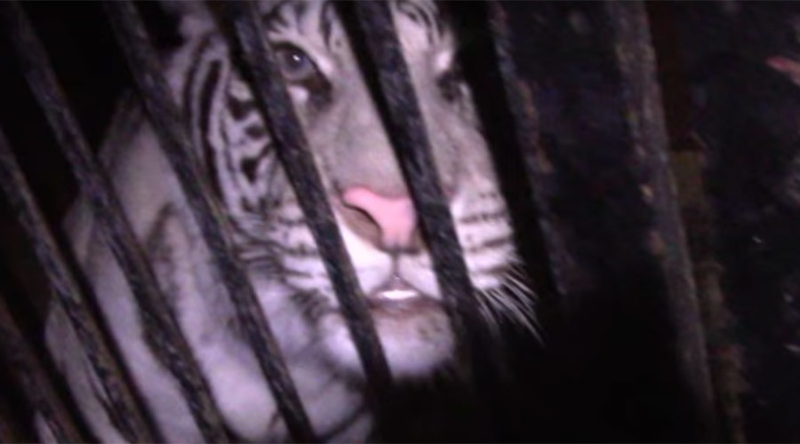 Truck full of rare tigers abandoned on Russian highway after accident (VIDEO)