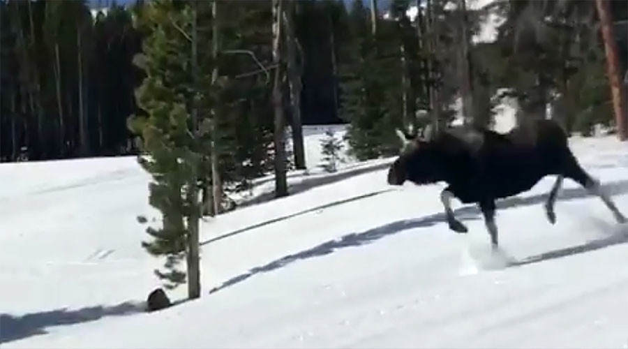 Wild moose chase: Snowboarders caught on camera in race for their lives (VIDEOS)