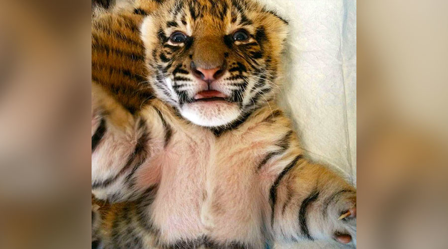 Nursing dog cares for extremely rare tiger cubs at Cincinnati Zoo (PHOTOS, VIDEOS)
