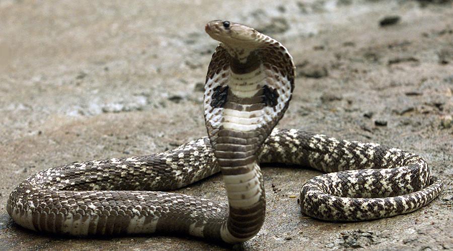 Snake in the grass: Escaped Florida cobra creates online hiss-teria