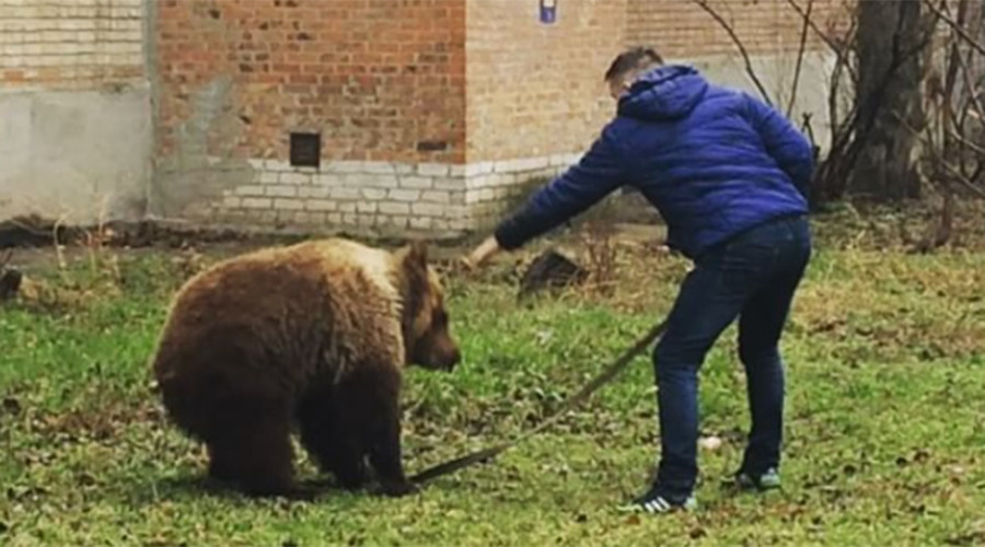 Man casually walks bear in residential area (VIDEO)