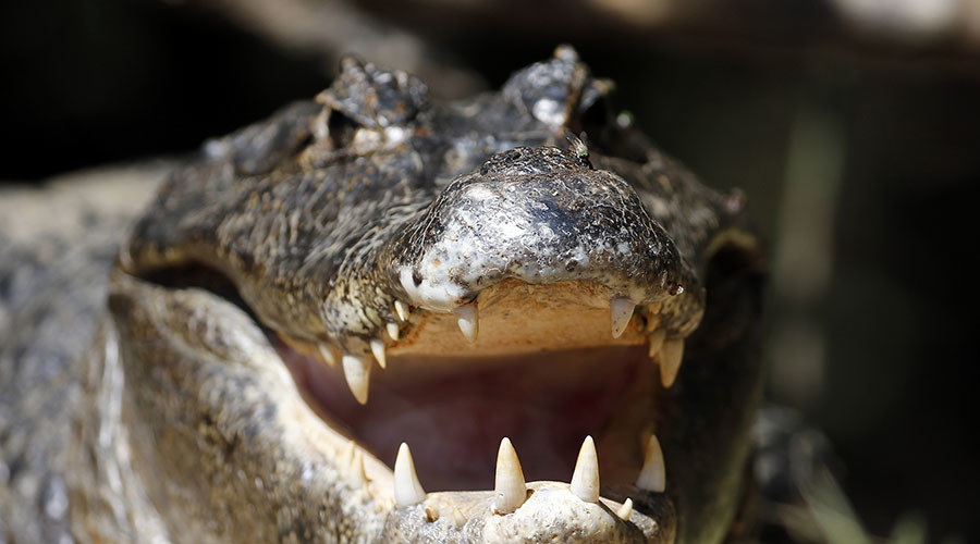 Brave wrangler wrestles 9ft gator out of Florida storm drain (VIDEO)