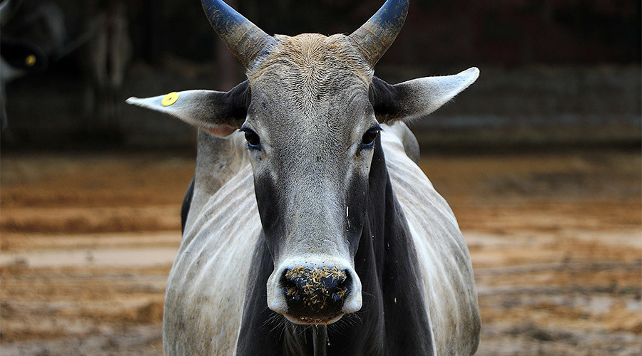 Holy cow! Butchers face life sentence in India for slaughtering sacred animal