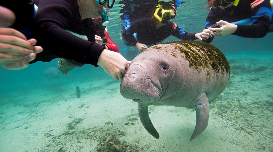 Oh the Hu-Manatee! Sea cows removed from endangered species list, still at risk