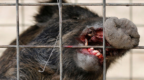 300 boars have been killed so far. © Toru Hanai
