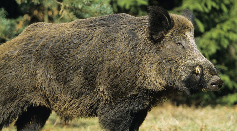 Wild boars slay three Daesh militants