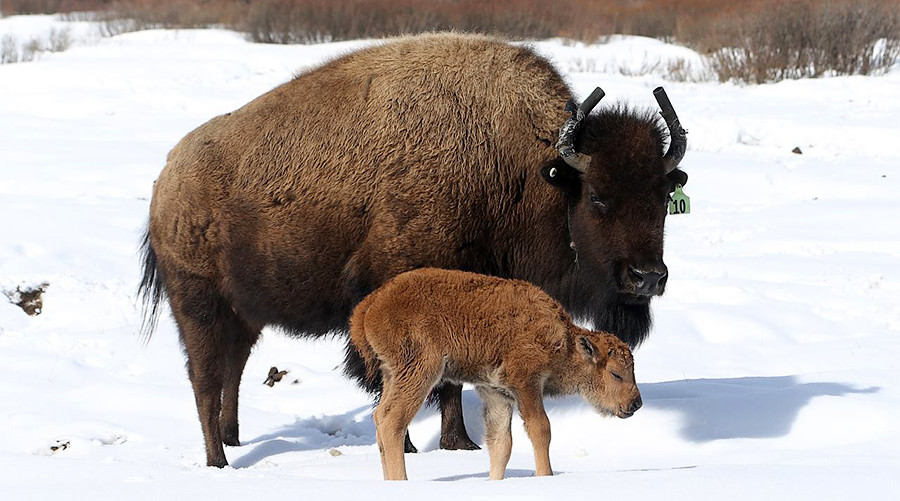 First wild bison calves born at Canadian park after 140 years