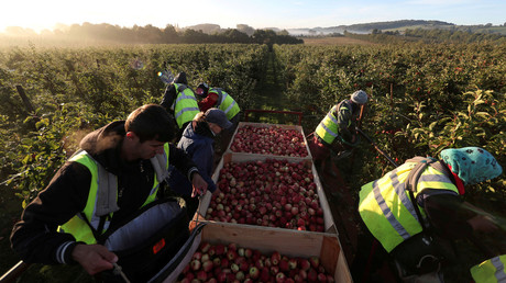 Migrant workers pick apples at Stocks Farm in Suckley, Britain. © Eddie Keogh