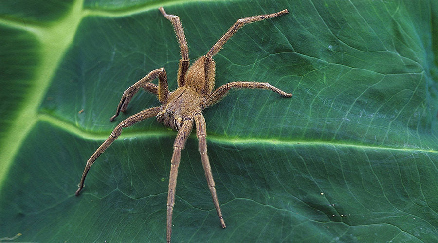 Swarm of deadly spiders crawl from banana, forcing mother & baby from home