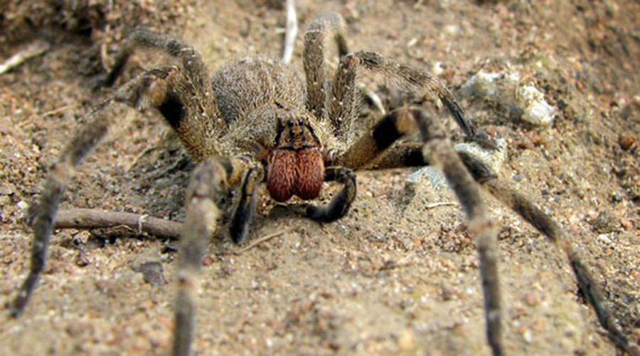 Potential erectile dysfunction cure discovered in venom of lethal Brazilian spider (VIDEO)