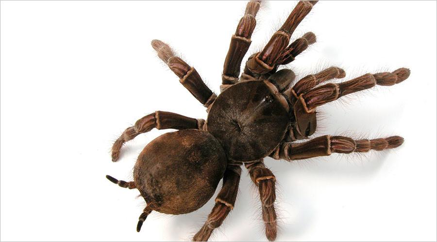 Giant bird-eating tarantula found abandoned on Leicester street