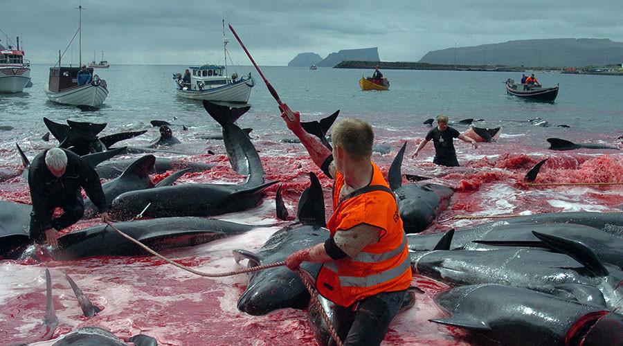 EU should hold Denmark accountable for Faroe Island 'whale slaughter' - activists