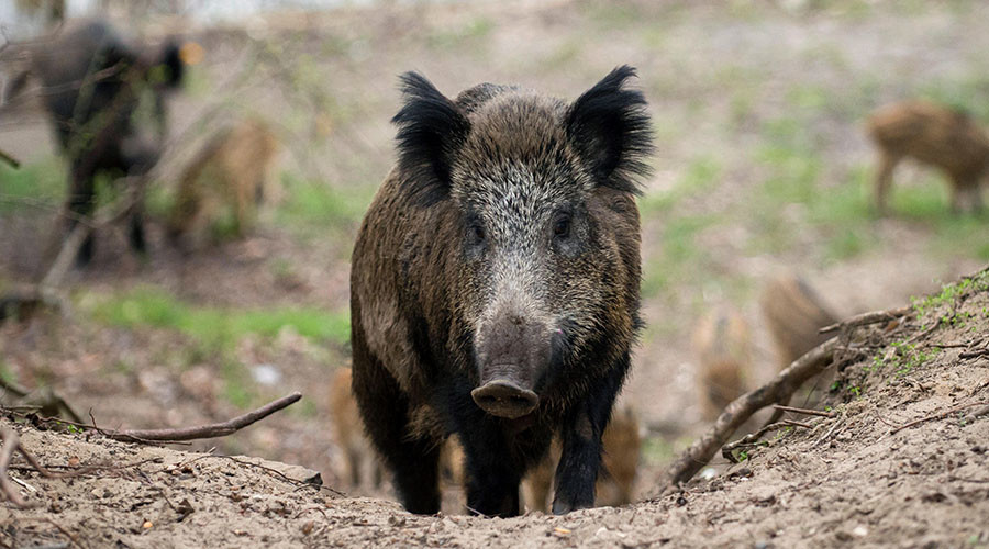 British diplomat chased by 'massive' wild boar in Austria