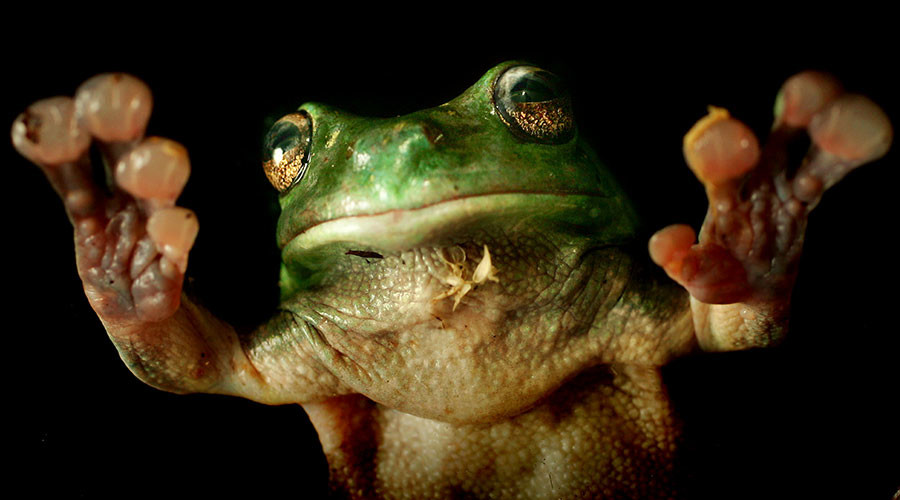 Rare frog's 'exposed heart' makes scientists skip a beat (VIDEO)