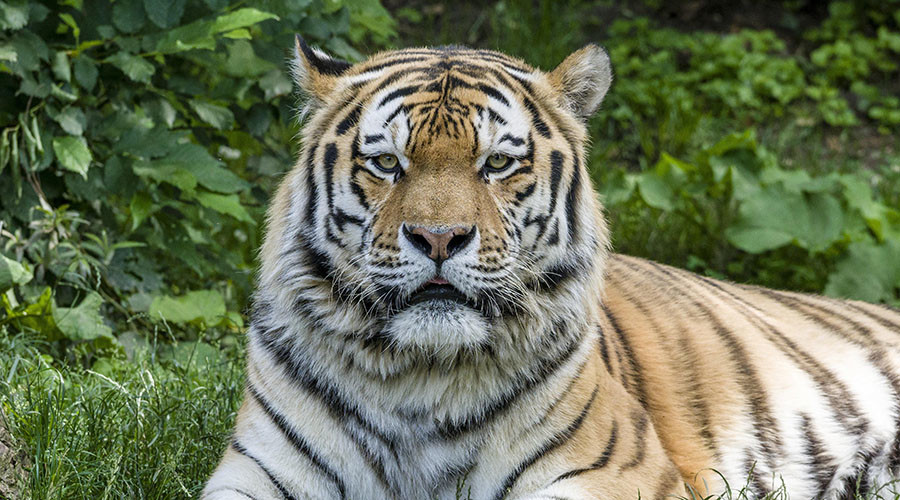 Tiger kills zookeeper at British wildlife park in 'freak accident'