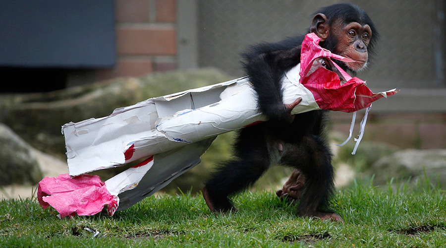 Monkey Trial: Chimpanzees aren't people, New York court says