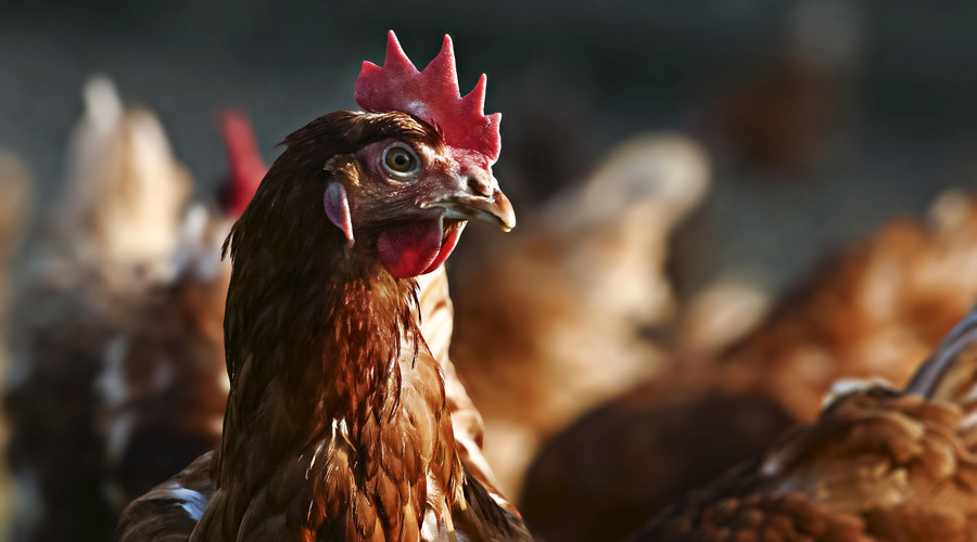 Anti-abortion pol decapitates chicken, cuts its heart out on camera