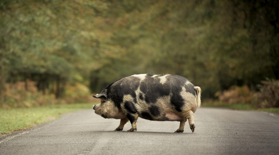 Escaped pigs bring traffic to a standstill on busy British motorway (PHOTOS, VIDEOS)