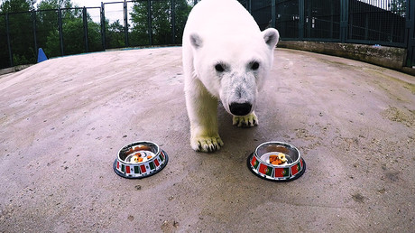 Rescued polar bear 'with 6th sense' joins Hermitage cat in predicting Confed & World Cup results