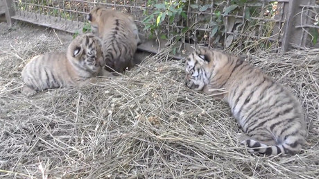 Trio of Russian Amur tiger cubs 'strong & healthy' in Crimean safari park