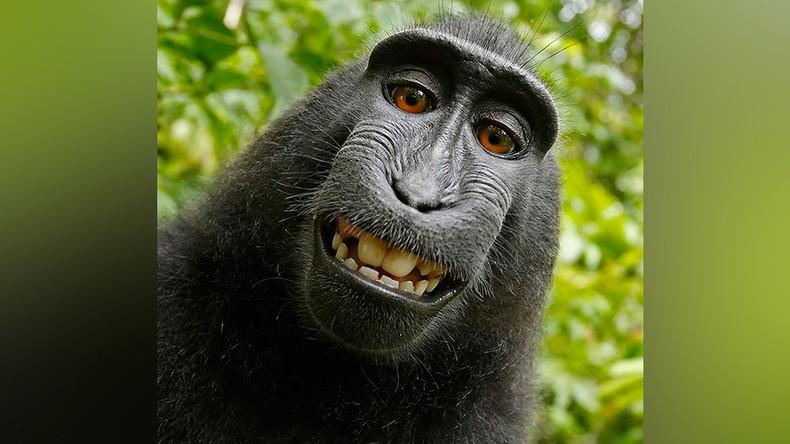 Selfie-loving monkey back at center of copyright court battle