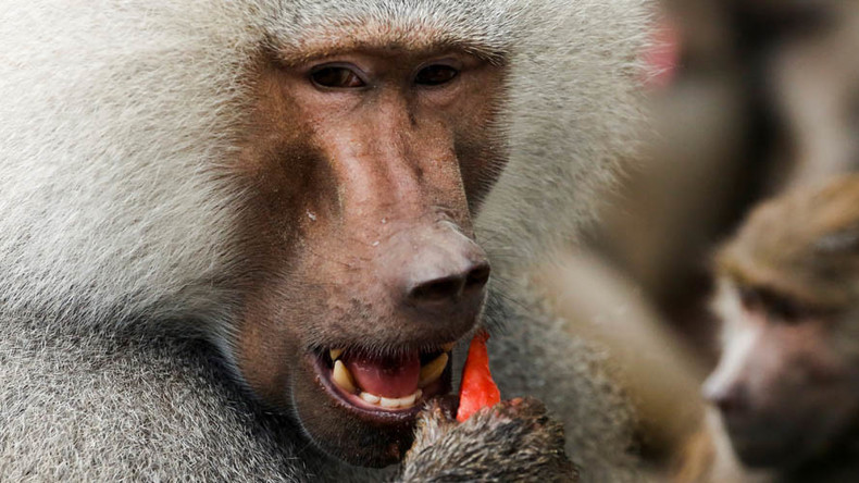 Baboon blackout: Problematic primate causes massive power cut in Zambian town
