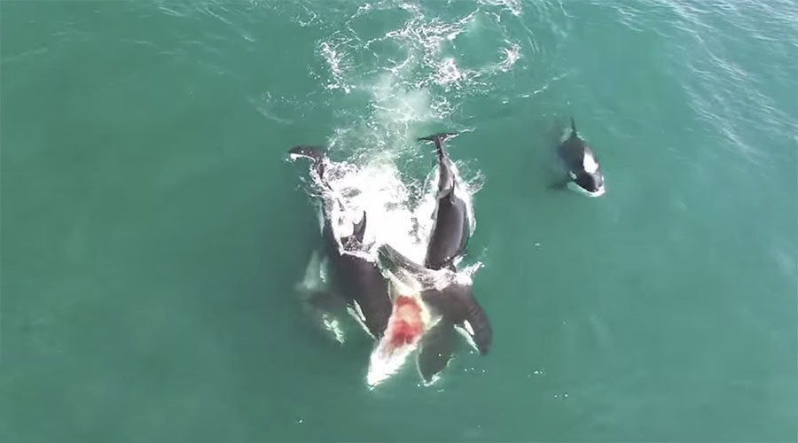 Carnivore orcas hunt down 12-meter whale in dramatic rare footage from Russia (VIDEO)