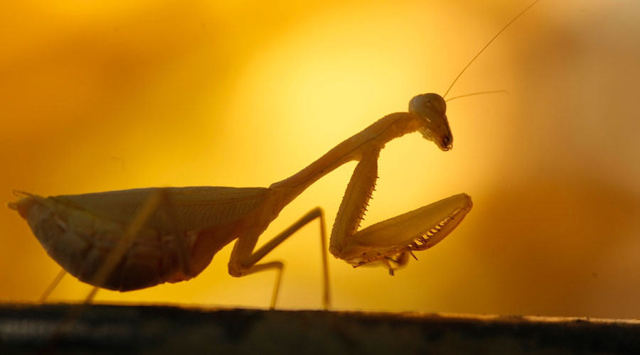 Praying mantises devour birds they killed & mate at the same time – study