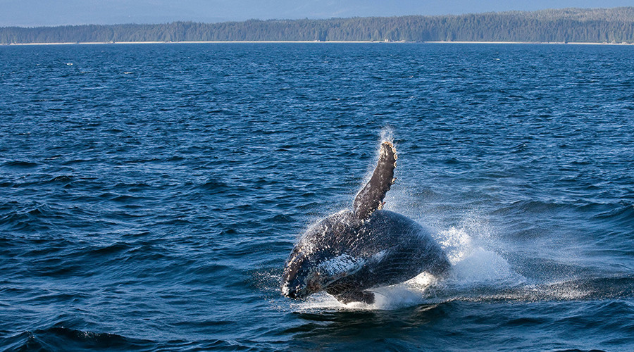 Endangered whale kills rescuer moments after he frees it from fishing net