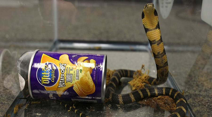 3 live king cobras found inside potato chip package by US customs