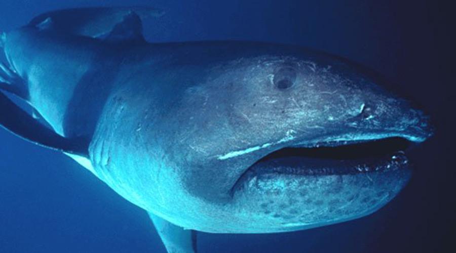 Rare megamouth shark swims with diver off Komodo Island (VIDEO)