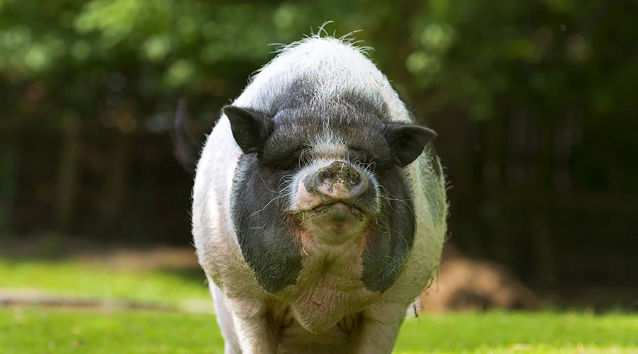 350lb pig bites 3yo girl to the bone, owner faces 1yr in jail