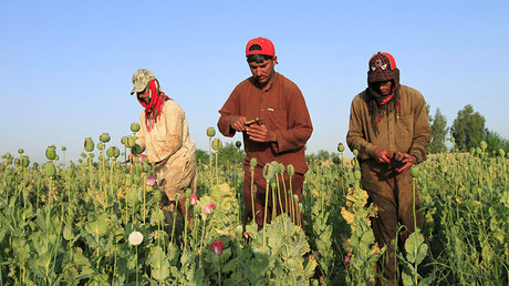 Afghan men gather raw opium on a poppy field on the outskirts of Jalalabad. ©Parwiz