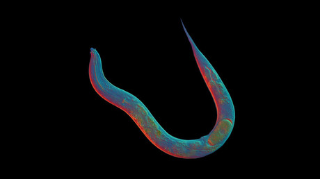 18mn yo asexual worm could unlock secrets of cloning humans