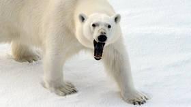 Russian Arctic town suffers POLAR BEAR INVASION, dozens of predators 'won't go away' (VIDEOS)