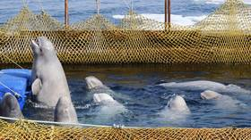 Fate of orcas & belugas from 'whale jail' should be decided today – Kremlin