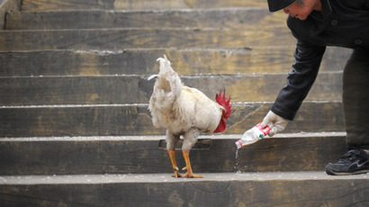 An elderly woman feeds a cockerel in a residential area in Beijing on April 4,2013. (AFP Photo)