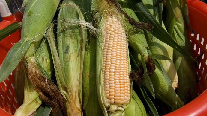 Study reveals GMO corn to be highly toxic