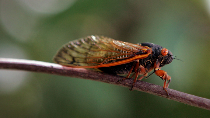 East coast of US braces for billions-strong cicada swarm