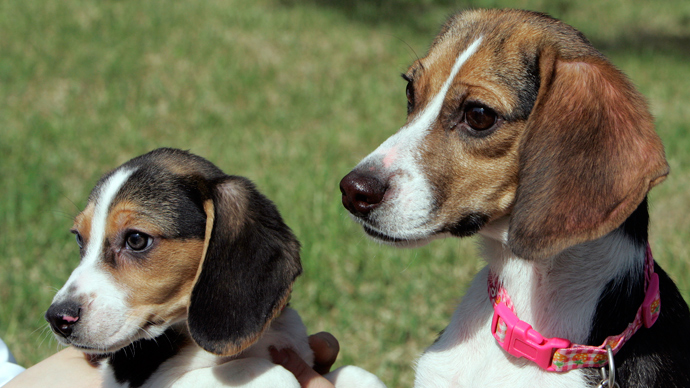 A cloned fluorescent dog Ruppy (R), a seventeen-month-old beagle, and her three-month-old puppy (Reuters / Jo Yong-Hak)