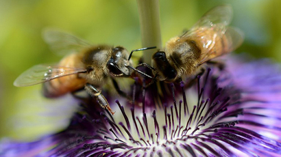 Bees collect nectar from a flower (AFP Photo / Joe Klamar)